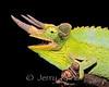 Jackson's Chameleon (Chamaeleo jacksonii) - Kona, Big Island, Hawaii
