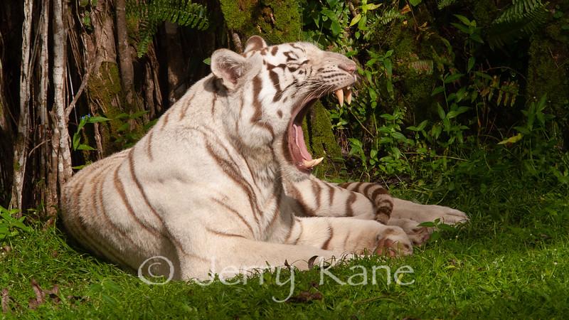 White Bengal Tiger (Panthera tigris) - Panaewa Rainforest Zoo, Big Island, Hawaii