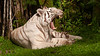 White Bengal Tiger (Panthera tigris) - Panaewa Rainforest Zoo, Big Island, Hawaii