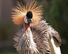 Grey Crowned Crane (Balearica regulorum) originally from Africa - Waikoloa, Big Island, Hawaii