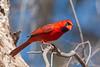 Northern Cardinal (Cardinalis cardinalis) - Puuanahulu, Big Island, Hawaii