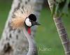 Grey Crowned Crane (Balearica regulorum) originally from Africa - Waikoloa, Big Island, Hawaii
