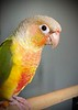 """Iniki"" - A Pineapple Green Cheeked Conure (Pyrrhura molinae) - Indoors at the San Diego home of Dave and CAt Fremo"
