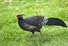Kalij Pheasant (Lophura leucomelanos) - Puuanahulu, Big Island, Hawaii