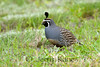 California Quail (Callipepla californica) - Puuanahulu, Big Island, Hawaii