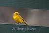 Saffron Finch (Sicalis flaveola) - Puuanahulu, Big Island, Hawaii