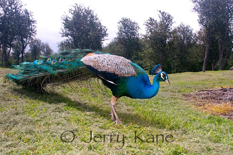 Peafowl, male (Pavo cristatus) - Makalei, Big Island, Hawaii