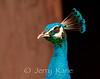 Peafowl, male (Pavo cristatus) - Panaewa Rainforest Zoo, Big Island, Hawaii