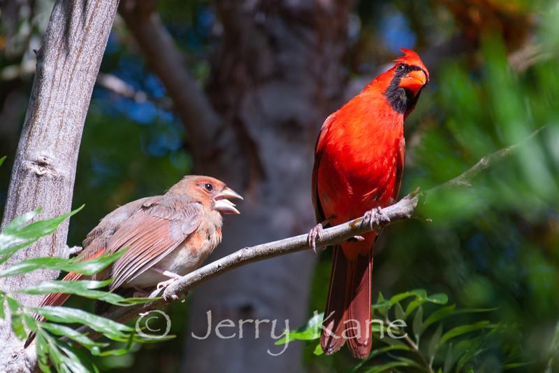 Northern Cardinal (Cardinalis cardinalis) with irritating chick - Puuanahulu, Big Island, Hawaii