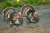 Wild Turkeys (Meleagris gallopavo) - Puuanahulu, Big Island, Hawaii