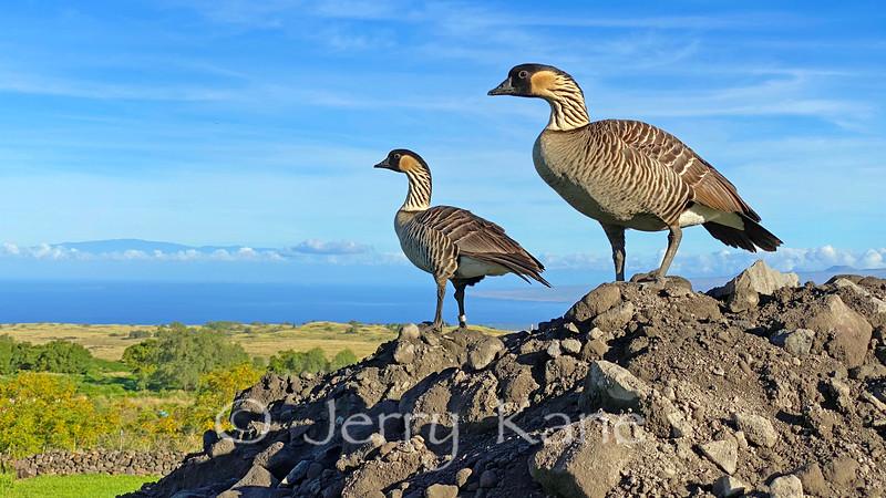 Hawaii's State bird, the endemic and endangered Nene (Branta sandvicensis) - Big Island, Hawaii