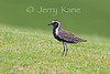 Pacific Golden Plover (Pluvialis fulva) - Puuanahulu, Big Island, Hawaii
