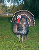 Wild Turkey (Meleagris gallopavo) - Puuanahulu, Big Island, Hawaii