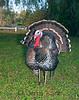 Wild Turkey (Meleagris gallopavo) - Puuanahulu, Big Island, Hawaii