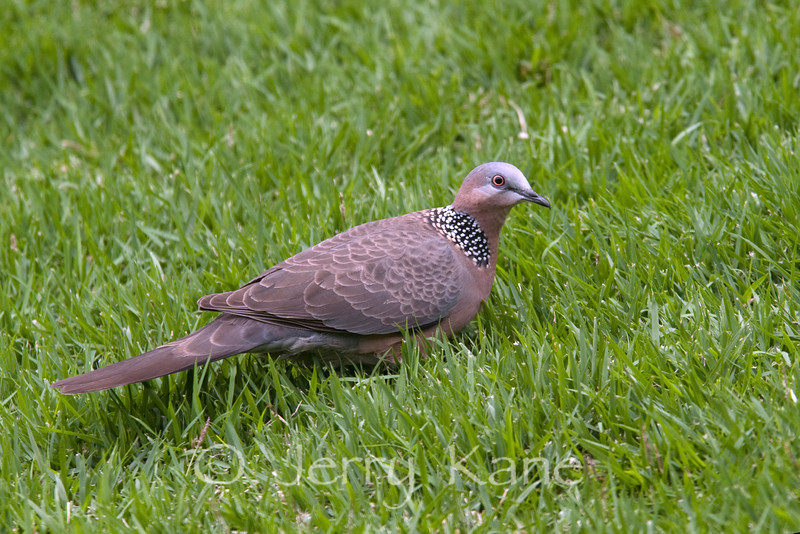 Spotted Dove (Streptopelia chinensis) - Puuanahulu, Big Island, Hawaii