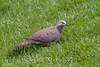 Spotted Dove (Streptopelia chinensis) - Puuanahulu, Big Island, Hawaii