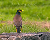 Common Myna (Acridotheres tristis) - Puuanahulu, Big Island, Hawaii