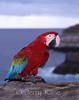 Scarlet Macaw perched on a cliff above a rocky coastline on Oahu, Hawaii.