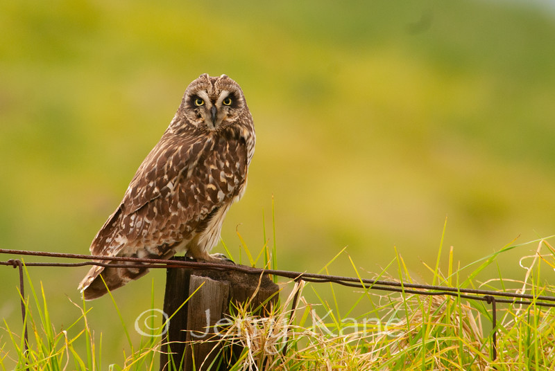 Hawaiian Endemic Short-Eared Owl or Pueo (Asio flammeus sandwichensis) - Waikii, Big Island, Hawaii
