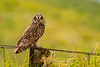 Hawaiian Endemic Short-Eared Owl or Pueo (Asio flammeus sandwichensis) - Waikii, Big Island, Hawaii