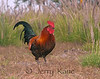 Red Jungle Fowl (Gallus gallus), a feral bird first brought to Hawaii by the Polynesians - Puuanahulu, Big Island, Hawaii