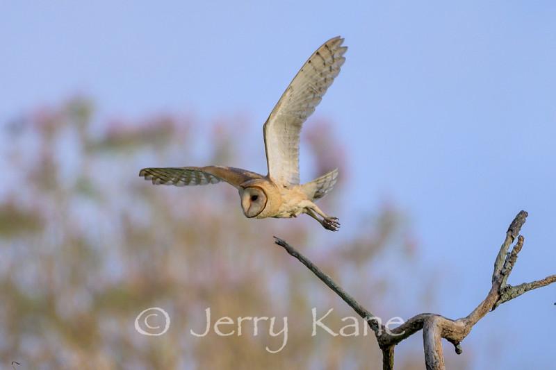 Barn Owl (Tyto alba) - Puuanahulu, Big Island, Hawaii