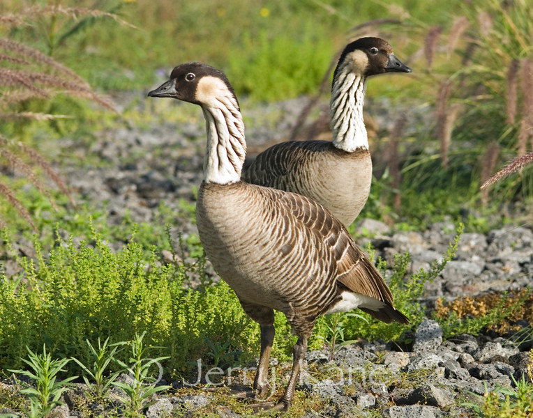 Hawaii's State bird, the endemic and endangered Nene (Branta sandvicensis) - Big Island, Hawaii