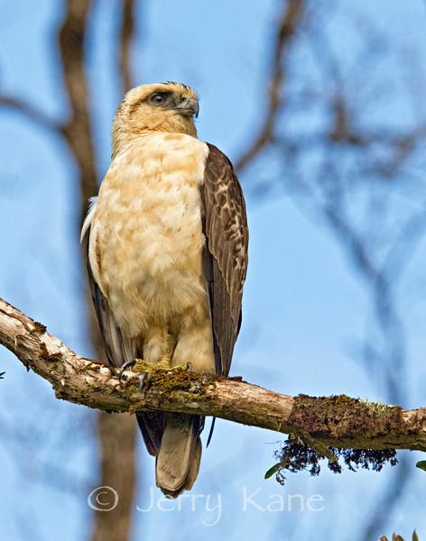 Hawaiian Hawk or 'Io (Buteo solitarius) - Puna, Big Island, Hawaii