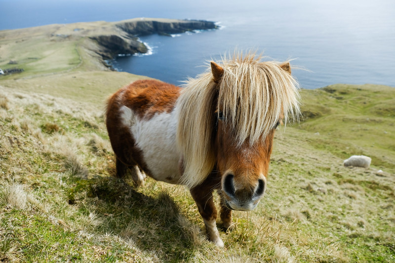 Shetland Pony - seen on Foula