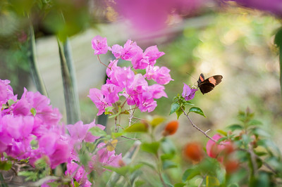An unidentified butterfly makes his/her round through a flowering bougainvillea cluster.