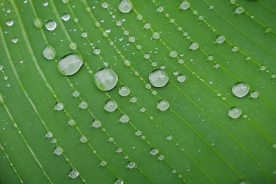 Raindrops settled on a banana leaf
