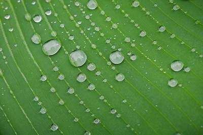 Raindrops settled on a banana leaf