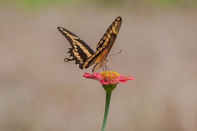 A Black Swallowtail butterfly feeding on a flower