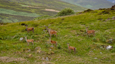 Red Deer stags in velvet
