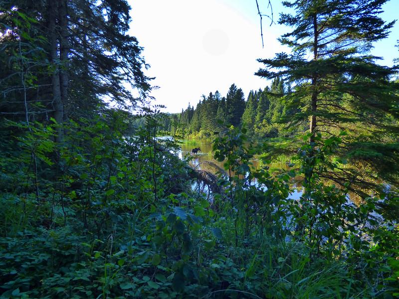 Isle Royale moose 22