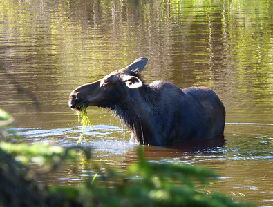 Isle Royale moose 14