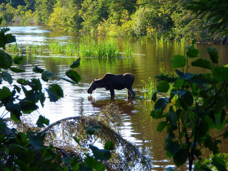 Isle Royale moose 20