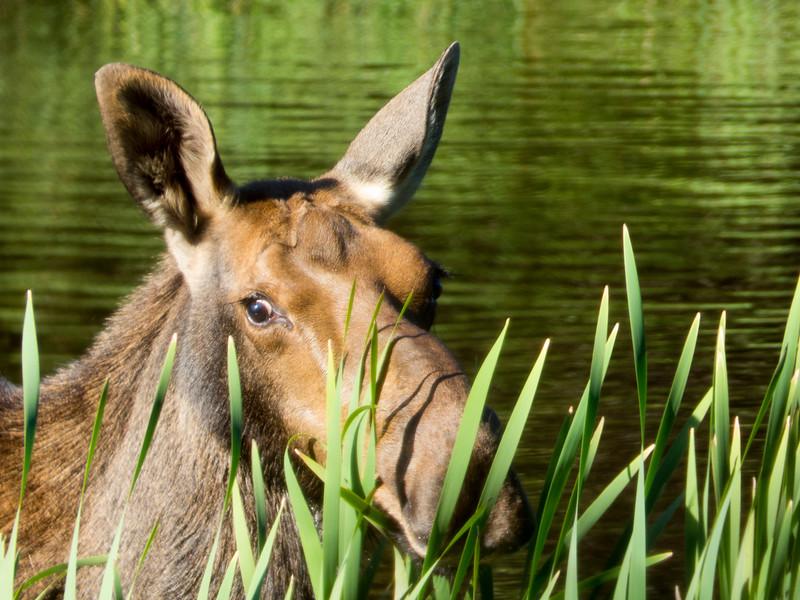 Isle Royale moose 10