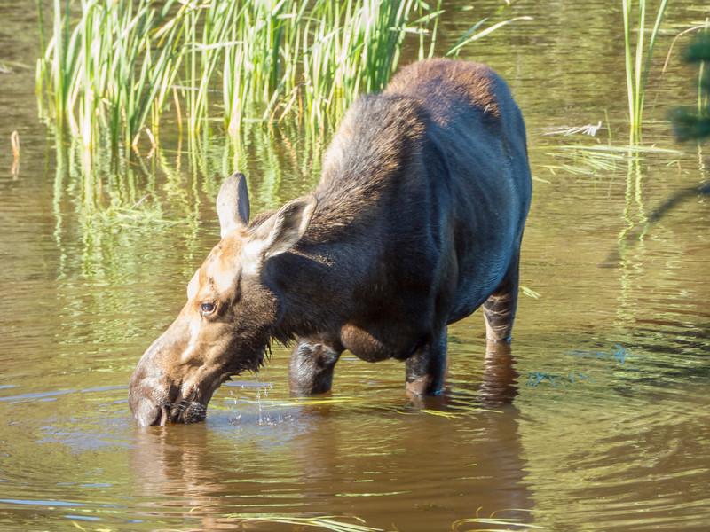 Isle Royale moose 4