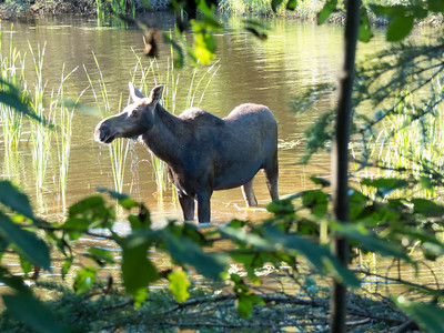 Isle Royale moose 3