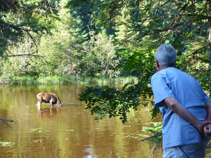 Isle Royale moose 19