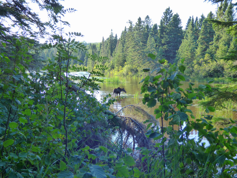 Isle Royale moose 21