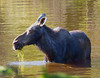 Isle Royale moose 12
