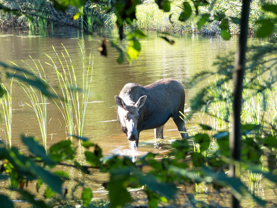 Isle Royale moose 1