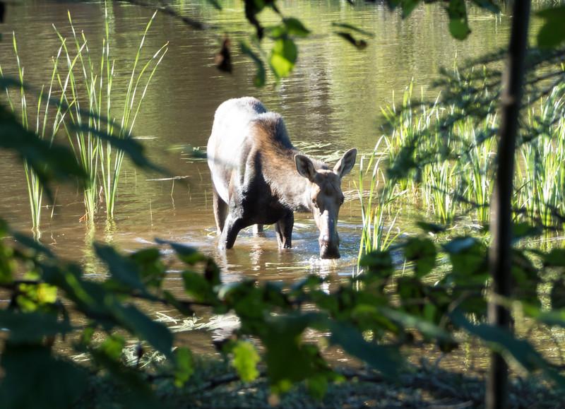 Isle Royale moose 2