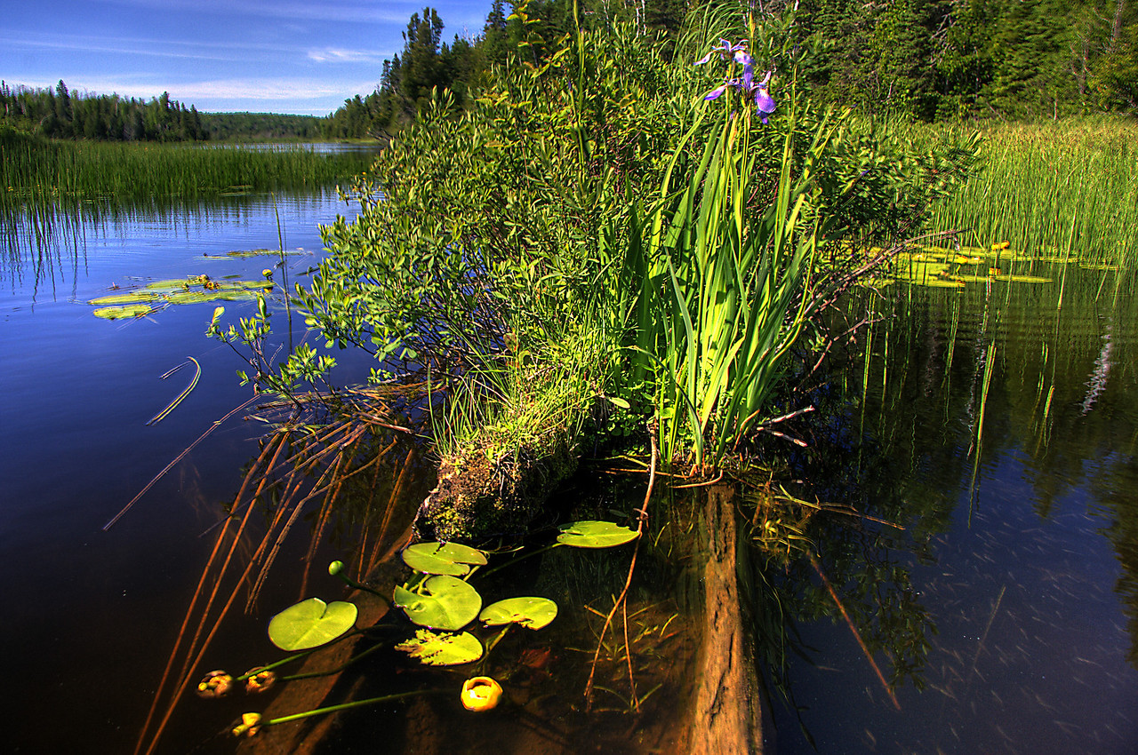 Iris and minnows on Chickenbone Lake, Isle Royale National Park