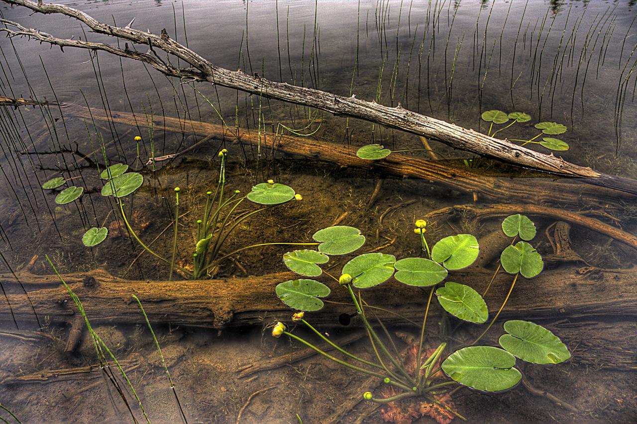 Amygdaloid Lake Lily Pads