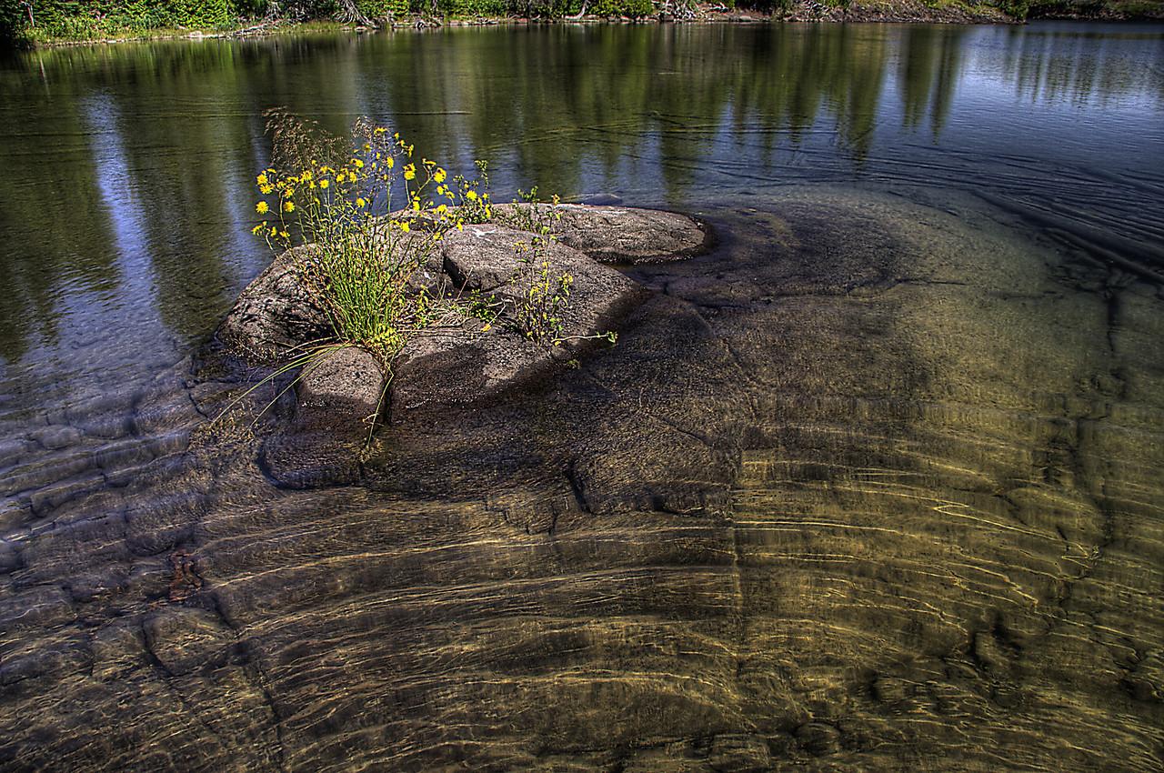 Greene Isle Canada Hawkweed