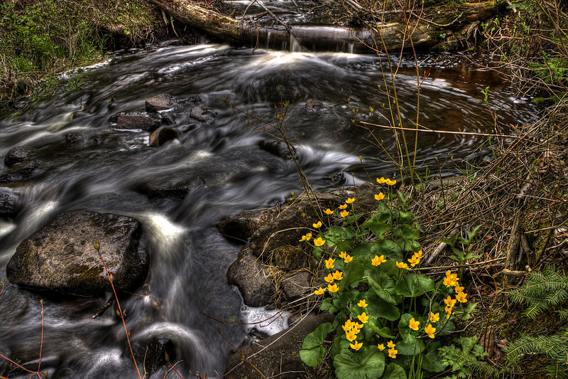 Todd Harbor Creek Marsh Marigolds