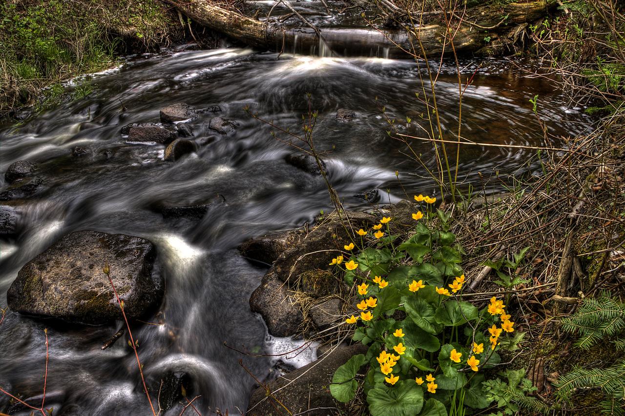 Todd Harbor Creek Marsh Marigolds